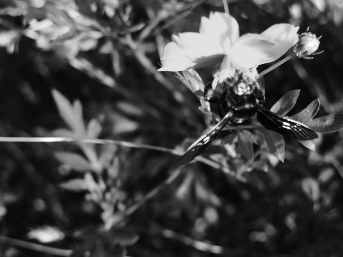 Black and white flower bee